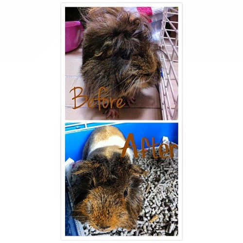 So ready for the hot humid weather :D Botak Hurley <3 #guinea #pig #guineapig #hurley #gforce #pet #grooming #petsrepublic #lorongL #telokkurau #hot #weather (at lorong L)