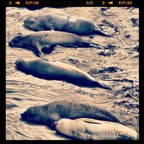 Beach Slackers  #elephantseal #seal #animals #beach #instanature #piedrasblancas #pch #california