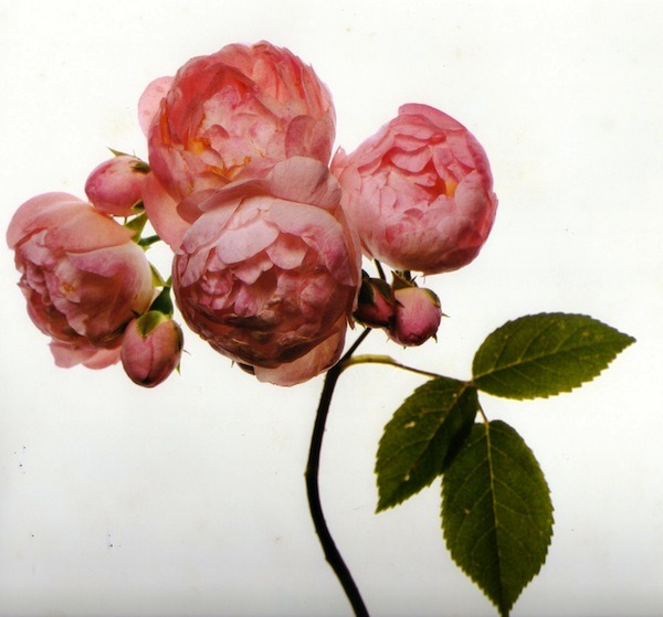 ohemilytate:  Irving Penn, Flowers