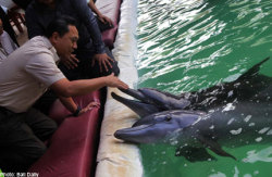 "funnywildlife: INDONESIA MINISTER SHUTS DOWN DOLPHIN ATTRACTION - ALASAmid mounting public pressure demanding the government to stop the exploitation of dolphins for entertainment, Forestry Minister Zulkifli Hasan finally caved in.On Wednesday afternoon, he visited Akame Dolphin Bay Restaurant, a tourist spot near Benoa Port, and announced that he would shut down its dolphin attraction.He ordered his staff to confiscate the dolphins and to immediately move them to the Dolphin Rehabilitation Center in Kemujan, Karimun Jawa.""We will release them back into their natural habitat but we have to complete some observations before doing so,"" Zulkifli said.The floating restaurant, which is shaped like a ship and has a 130 square-meter pool in the middle, attracted hundreds of tourists who came to watch the dolphin show every day at the facility that was opened four months ago.The 1.7 meter-long dolphins were estimated to be seven to nine years old. They were caught in the northern part of Java sea.The Akame Dolphin bay restaurant had pocketed a permit that was issued by Wesut Seguni Indonesia, a Central Java based conservation organisation.Zulkifli deplored that the management of Akame Dolphin Bay Restaurant had placed the dolphins in a bad environment.""This environment is not suitable for dolphins. Wild life will be better for them,"" he said.Zulkifli admitted that the Akame Dolphin Bay Restaurant had a permit for the entertainment activities.""The existing rule actually gives permission for these kind of activities. But I understand that many people have criticised this sort of activity. Many people have protested via Twitter. This attraction received the attention of the international community. Therefore, we believe that it should be stopped,"" he stressed.Indonesia is regarded as home to the world's last remaining traveling dolphin circuses.http://www.asiaone.com/News/Latest+News/Relax/Story/A1Story20130215-402212.html"