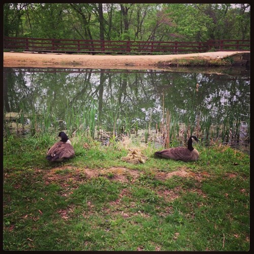 A happy goose family. (at Great Falls National Park)