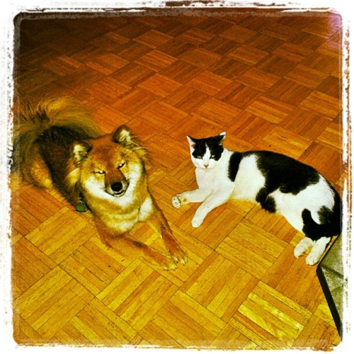 My cute little stupids. #shibastagram #shibainu #cat #cute #love #dog #puppy #kitty #pets #igers #fuckit
