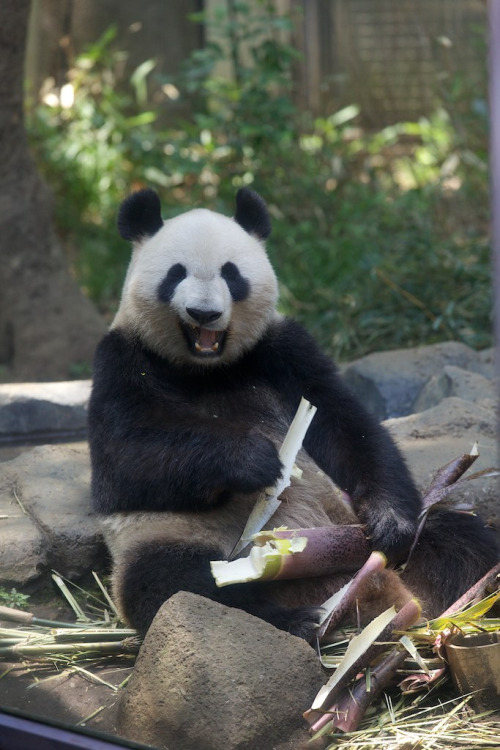 giantpandaphotos:  Shin Shin at the Ueno Zoo in Tokyo, Japan, on May 14, 2013. © Copanda V.