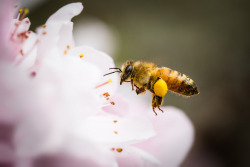 theanimalblog:  Honeybee. Photo by William  I haven't seen any yet!! But the usual one or two bumblebee comes buzzing into my backyard every day. Hopefully more comes along when I have more plants!