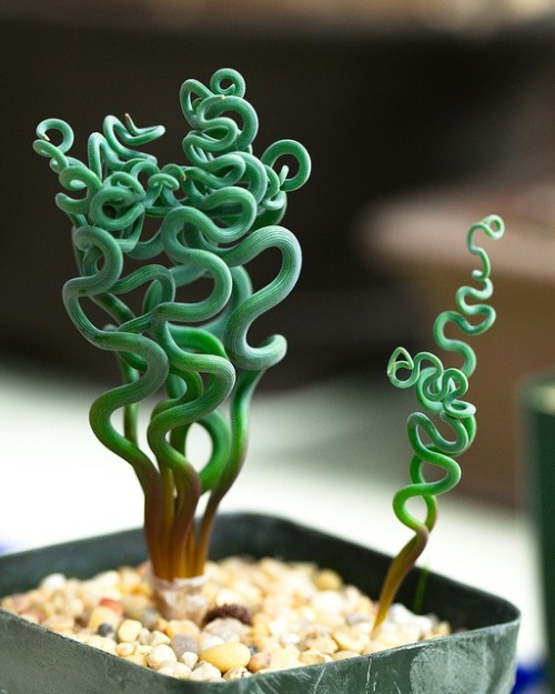 sadvelvetgirl:  shroom-girl:  A type of Crassula succulent  wow i need this what the fuck