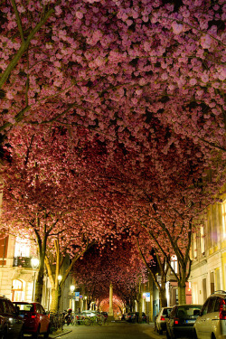 travelthisworld:  A Carpet of Cherry Blossom - Bonn, Germany | by Adas Meliuskas thanks to rafa333 for the link!