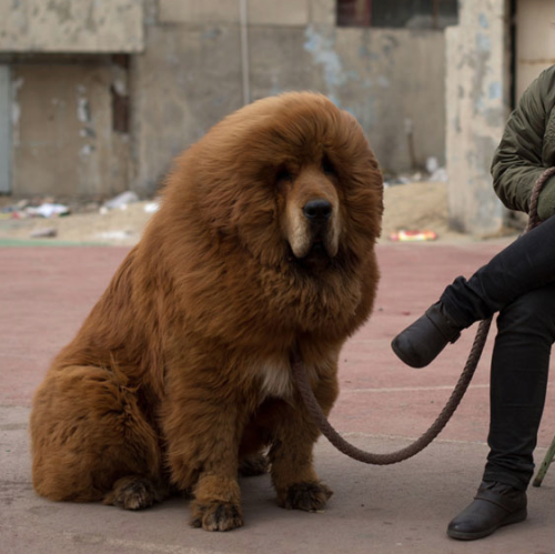 "carlop:  Tibetan Mastiffs. ""Fetching prices up to around $750,000 USD, mastiffs have become a prized status-symbol amongst China's wealthy, with rich buyers across the country sending prices skyrocketing. Owners say the mastiffs, descendants of dogs used for hunting by nomadic tribes in central Asia and Tibet are fiercely loyal and protective. Breeders still travel to the Himalayan plateau to collect young puppies, although many are unable to adjust to the low altitudes and die during the journey."""