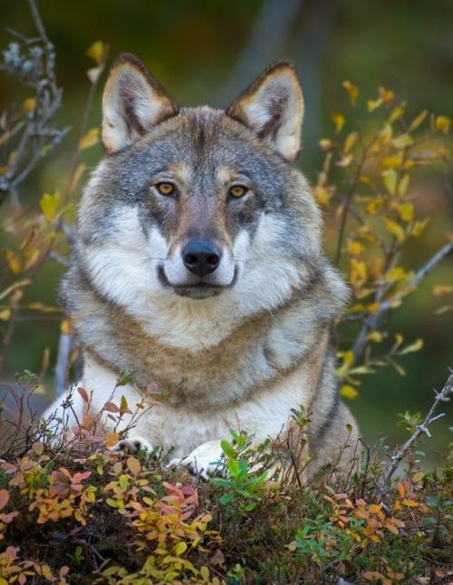 Wolfby ©Anngunn Dårflot #wildlife#animals#nature#wolf#wolves