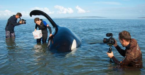 "miss-rhapsody:  ORCA ""Koru"" STRANDING The adult male orca, known as Koru (NZ123) had a close encounter with the Orca Research Trust team on Monday (20 May 2013), when he became stuck on a sandbank in the Kaipara Harbour. Alerted by the Kaipara Coastguard, the ORT team set off and arrived to find Koru being carefully attended by the fishermen who had first found him. Koru remained calm, whilst he was kept wet, awaiting the returning tide. Our measurements showed that Koru was 6.45 m long – not large compared to the largest male orca measured (just over 9 m), but no small boy either and certainly well within the average size range.  Koru gets his name because the tip of his fin curls over, so it looks like an unfurling fern frond, often called a koru in Māori. The koru spiral shape symbolizes new life, growth, strength and peace. Koru the orca had a new lease on life when he got off the sandbank and headed out of the harbour, accompanied by an adult female orca, known as Nicky. Along with Nicky's most recent calf, they headed towards the harbour entrance as the sun was setting. We are very interested to hear of any sightings of orca along the New Zealand coastline as we want to monitor's Koru's progress. Please call 0800 SEE ORCA to help us keep an eye on him and the other orca. Thanks!"