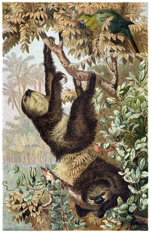 oldbookillustrations:  Two-toed sloth. From Brehms Tierleben (Brehm's animal life) vol. 2, under the direction of Alfred Edmund Brehm, Leipzig & Vienna, 1900. (Source: archive.org)