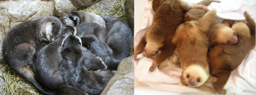 Otters and sloths pile up—but not together.