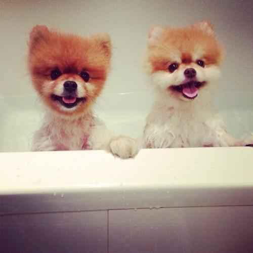 pompom pomeranian poms bath pomlove dogs pomstagram