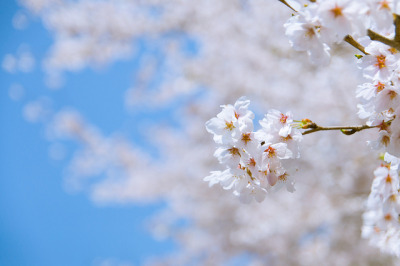 Cherry Blossom by SILENCE Vincent on Flickr.