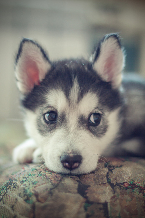 ohh-fuck-theres-clowns:  Huskies are the cutest. ღ