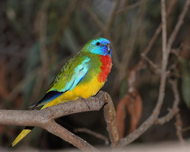 Scarlet-chested Parrot (Neophema splendida)© Graham #scarlet-chested parrot#neophema splendida#psittaculidae#psittaciformes#birds#graham
