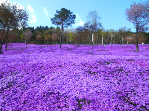 angelclark:  Some unbelievable places! (Part 2)  1) Lavender Fields, UK and France 2) Fields of Tea, China 3) Tianzi Mountains, China 4) Lake Hillier, Australia 5) Hang Son Doong, Vietnam 6) Canola Flower Fields, China 7) Hitachi Seaside Park, Japan 8) Red Beach, Panjin, China 9) Shibazakura Flowers, Takinoue Park, Japan 10) Naica Mine, Mexico http://www.boredpanda.com/amazing-places/