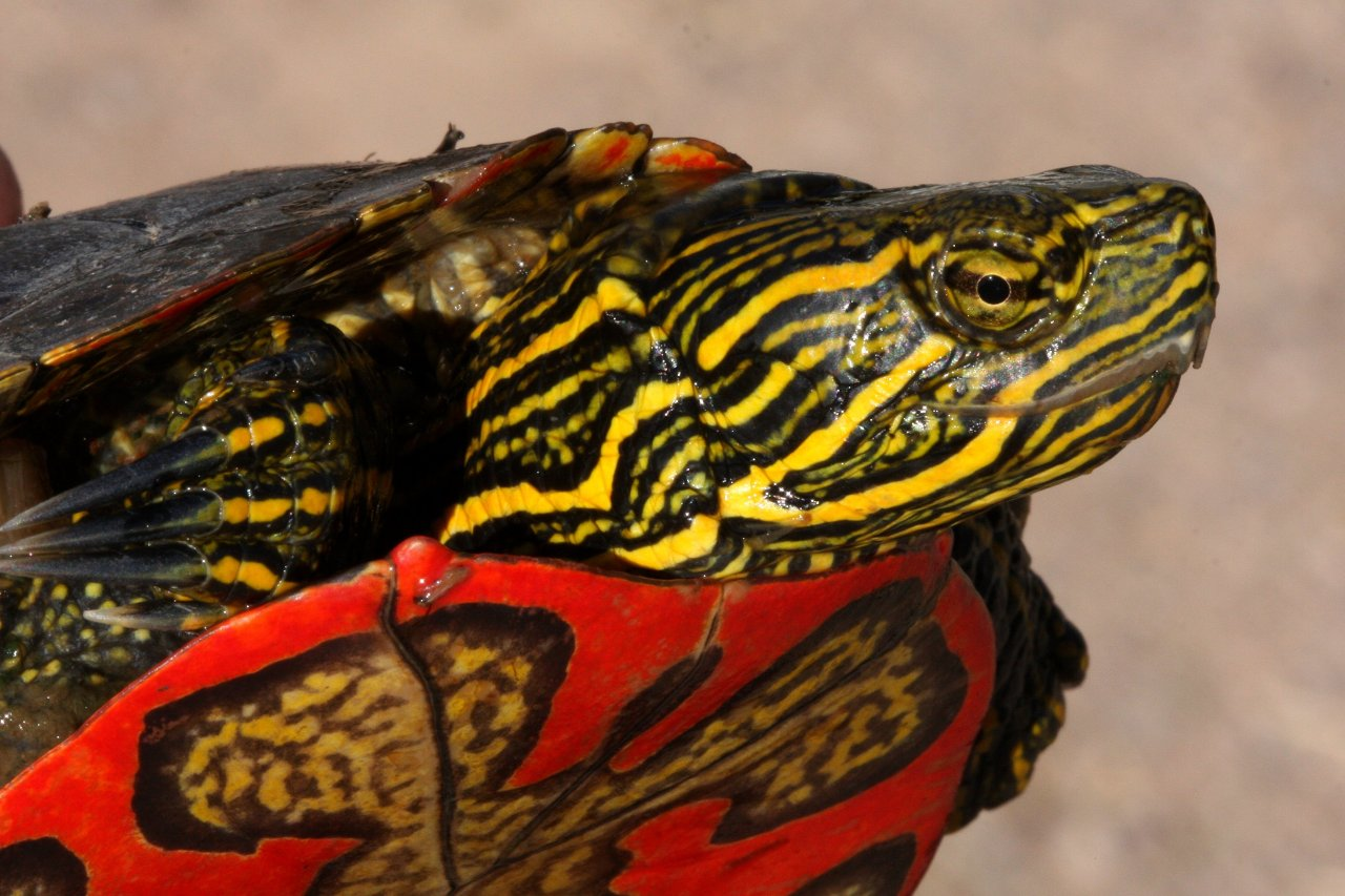 "The Western Painted Turtle can survive the whole winter without breathing, and now researchers know why.  When researchers recently sequenced the turtle's genome, they found that its ability to withstand complete oxygen deprivation (anoxia) and partial freezing is associated with networks of genes common to vertebrates. Transcriptomic analysis revealed 19 genes in the brain and 23 in the heart in which expression is significant increased in low-oxygen conditions, including one that was expressed almost 128 times as much as normal. ""This is a back-door route for turtles to evolve,"" coauthor Patrick Minx of The Genome Institute at Washington University in St Louis said in a press release. ""Rather than evolve new genes, they adapted existing genes for new uses.""  Photo via (x) Quote via (x)"