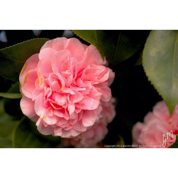 #flower #camellia #pink #leaf #nature #plant #beauty #garden #tree #nikon #nikonphotography #photography #micro #macro #lens #editoftheday #bestoftheday #edit #gimp