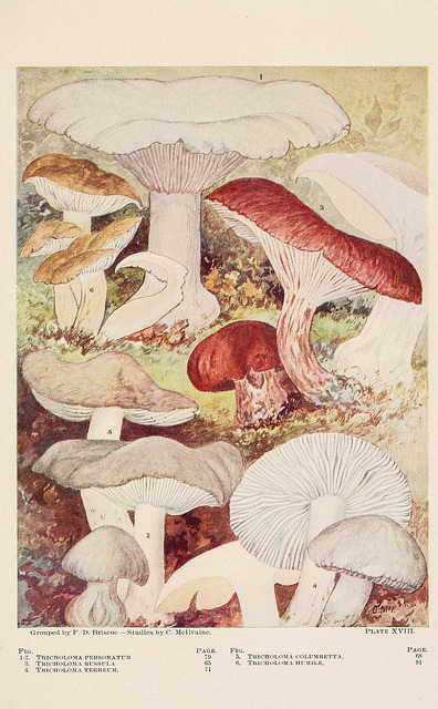 scientificillustration:  Toadstools, mushrooms, fungi, edible and poisonous by BioDivLibrary on Flickr. Indianapolis,The Bowen-Merrill Company[c1902].biodiversitylibrary.org/page/1270256
