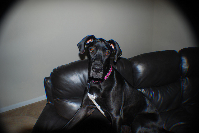 little tiny on Flickr. this is my 1000 lb baby great dane