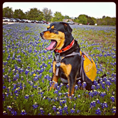 Someone obviously thinks he's too good for an obligatory #Texas  #Bluebonnet pic :)  #DogsOfInstagram #PhinTheDog #MckinneyFalls  (at McKinney Falls State Park)