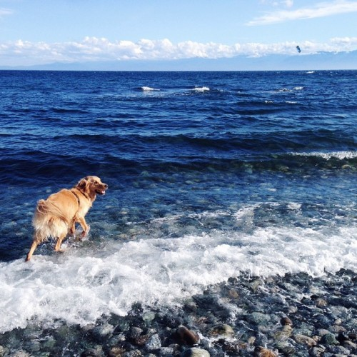 Nothing makes him happier than being on the beach…except cheese. #thatsaclosesecond #golden #goldenretriever #instadog #dallasroad #victoria #bc #vancouverisland #explorebc #oc