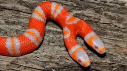funnywildlife: This two headed albino milk snake was born last year in Florida. The condition is known as Polycephaly and occurs when monozygotic twins fail to separate completely. Most organisms with this condition will not live for long, but occasionally you will get cases like this one, where the snake(s?) seem healthy enough and can live for years. The heads act independently of one another, and will fight over food given the opportunity. Watch a video of their owner feeding them here: http://bit.ly/11YYkHT  Courtesy of Andrew Vizzacchero