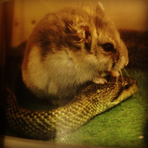 I found out today about a hamster that has formed a friendship with a snake. #unlikelyfriends #hamster #snake