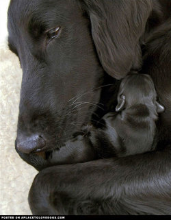 Sweet Black Labrador Retriever mommy cuddling with her new baby. So touching  For more cute dogs and puppies