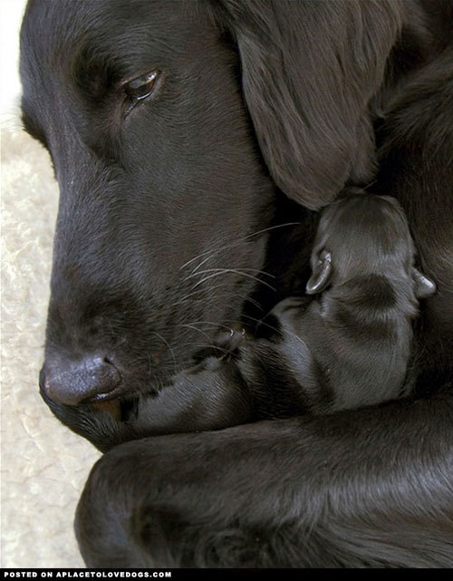 aplacetolovedogs:  Sweet Black Labrador Retriever mommy cuddling with her new baby. So touching  For more cute dogs and puppies  Beautiful black…