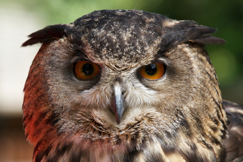wingedpredators:  Humpty, European Eagle Owl (Photo by Alex Cranton)