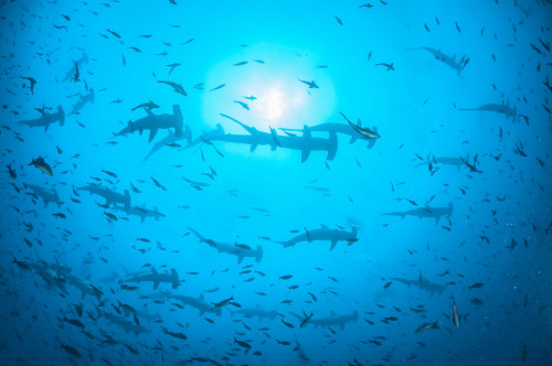 100leaguesunderthesea:  HAMMERHEADS ABOVE by wildestanimal