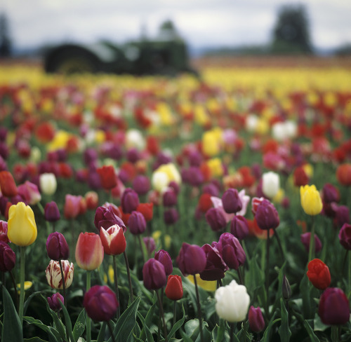 the tulips and the tractor by Danielle Hughson
