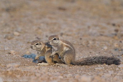 Double Trouble, A Couple of Baby Ground Squirrels that look like trouble in Etosah National PArk.