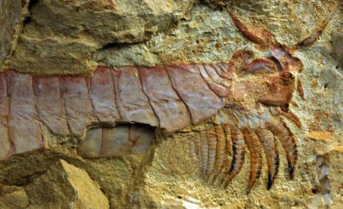 laughingsquid:  Scientists Discover 530 Million-Year-Old Sea Creature Fossil