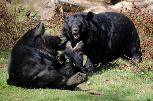 animaliachordata:  Anholter Schweiz #1 - Playing Black Bears by tokek belanda (very busy) on Flickr.