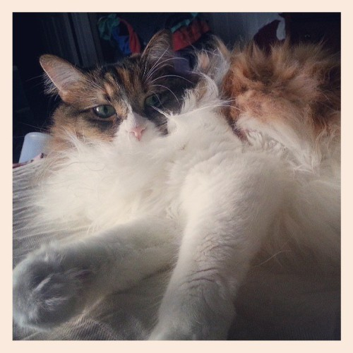 My, what big paws you have. #cat #calico #cute #Pancake