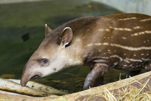 Awkward Tapir… this is really uncomfortable, the zoo paparazzi caught this tapir just as she was coming out of the bath.