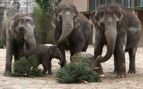 theanimalblog:  Elephants munch on Christmas trees in their enclosure at Berlin's Zoo. Picture: Andreas Rentz/Getty Images