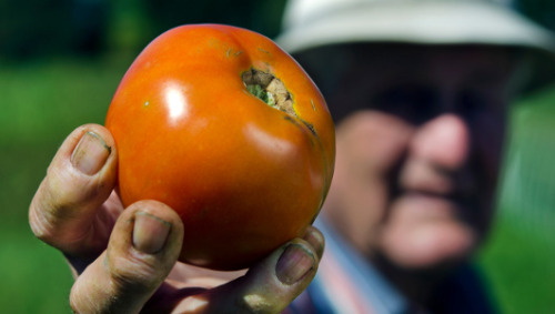 mothernaturenetwork:  West Virginia gave world indestructible tomato West Virginia University is giving away free packets of seeds of what has been dubbed 'the people's tomato.'