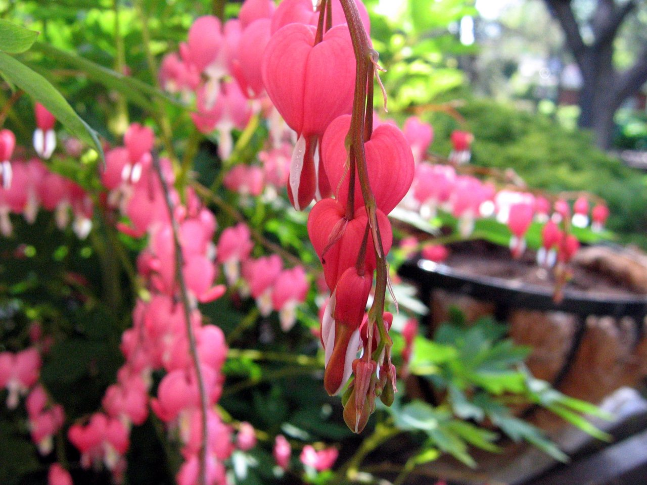 Bleeding Hearts My favorite spring flowers