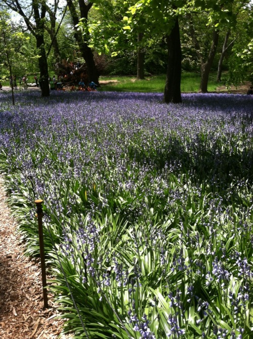 Bluebell wood, Spanish bluebells at the Brooklyn botanic gardens