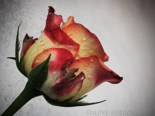 self-xpression:  THE ROSE copyright ©JUNE FERROL  All Rights Reserved   For Jean Alex - Thank you    A single rose can be my garden…a single friend, my world - Leo F. Buscaglia  thank you very much :)