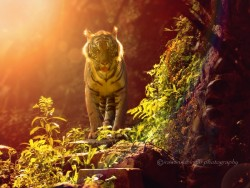 #animals: the sun kissed tiger by Irawan-Subingar http://ift.tt/1tgNBTV