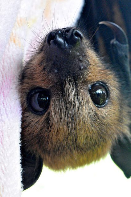 jeffreykcastro:  Baby Flying Fox