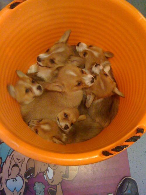 corgiaddict:  insanecorgi:  zoeythecorgi:  freshly picked corgi puppies  Screeeeeeeee!  PUPPY PILE!