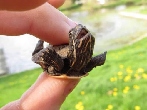 high-with-hitler:  cybercum:  just look at how happy this turtle looks i mean how can you not like this picture  In pretty sure he's in pain and he's trying to be released.Ohp.