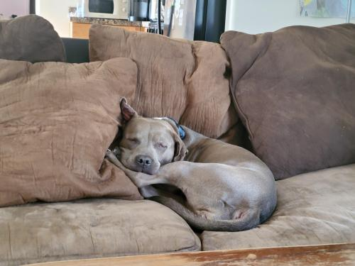 My baby after the dog park this morning #pitbull#aww#pets#puppers