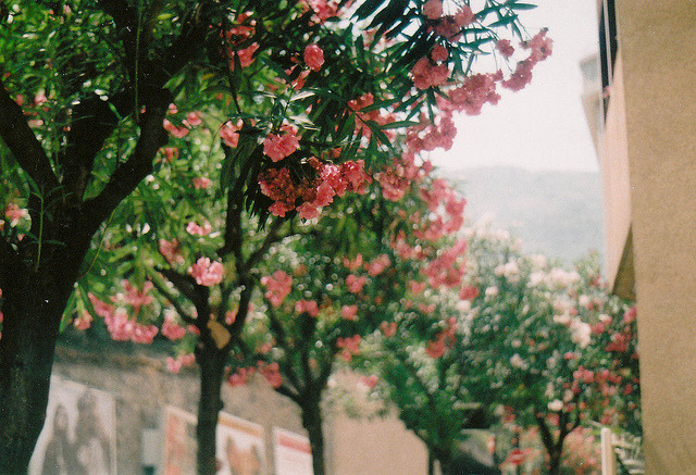 Oleander in Monaco | by © emilyharriet | via 4ujourd-hui