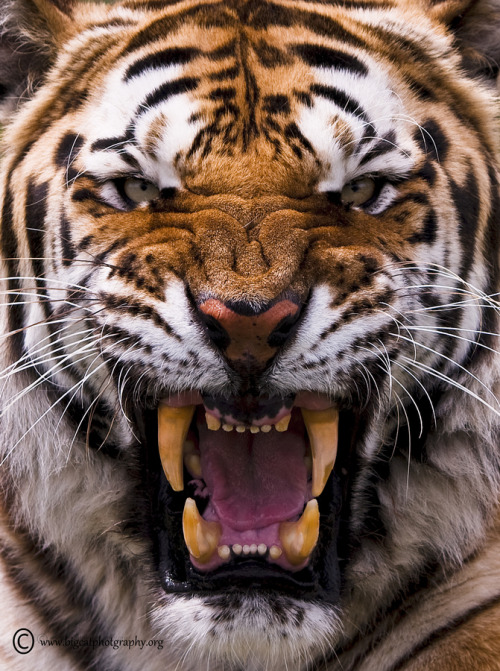 earthlynation:  Be Afraid…..Be Very Afraid by bigcatphotos UK